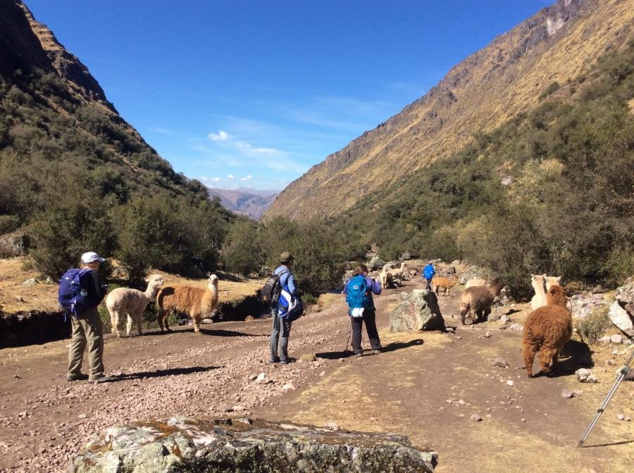 alpacas in Lares trekking Peru for 2 days