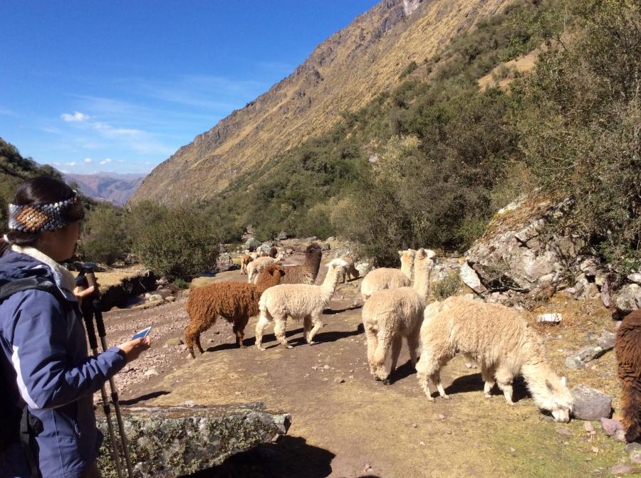 llamas along the Lares valley biking Peru