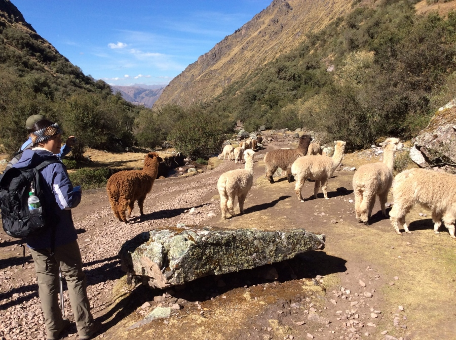 watching alpacas in one day Lares trip in Cusco