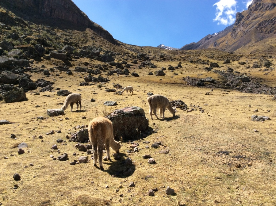 some alpacas along the Lares day tour from Cusco