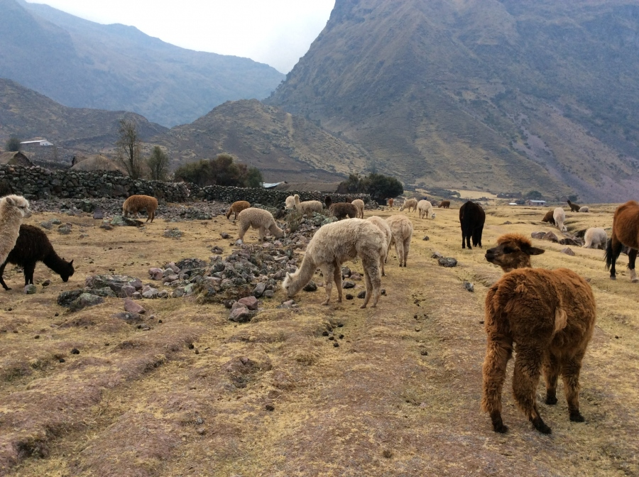 Trekking with llamas in Cusco Peru